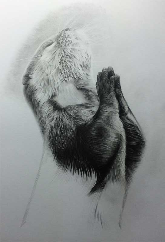 Praying Otter Realistic Pencil Drawing Work in Progress Image 4, by Transgender Artist Sophie Lawson