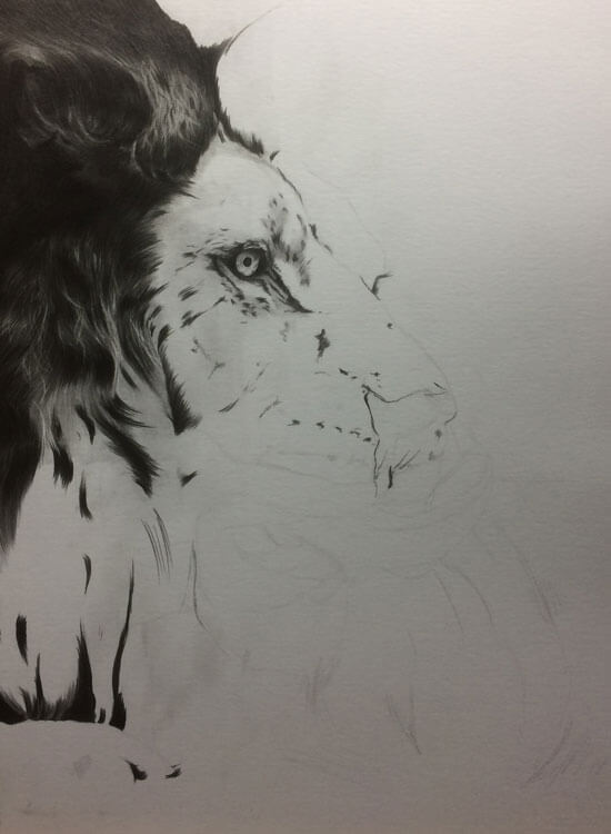 Realistic Lion Pencil Drawing - Out Of The Shadows - Work in Progress image 2, by Artist Sophie Lawson