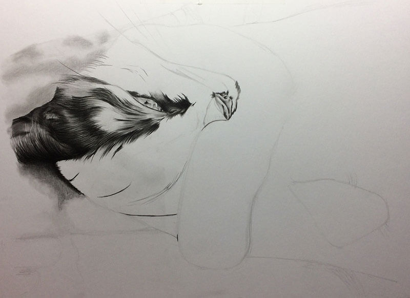 Realistic Pencil Drawing of Scarlet the Cat, Work in Progress Image 1, by Transgender Artist Sophie Lawson